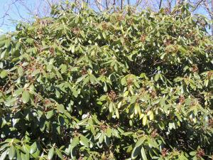 Rhododendron about to blossom