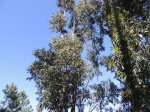Eucalyptus trees in abundance