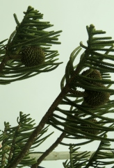A Pine tree?