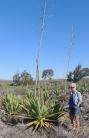 Agaves die after flowering