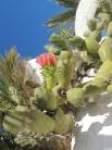 Cactus flowers still in bloom