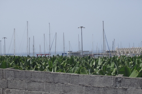 Banana fields surrounding the Port of Tazacorte