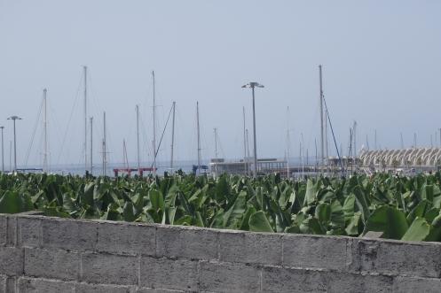 Banana fields surrounding the Port of Tazacorte