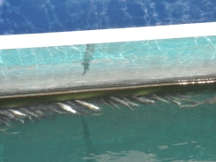 Sardines lining up, we can hear the nibbling sound from inside the yacht