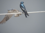 Cute Blue and white swallow