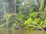 Dense rain-forest / mangroves