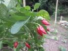 Plenty of Chili