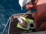 2kg Barracuda catched close ro south coast of Grenada