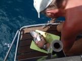 2kg Barracuda catched close ro south coast of Grenada