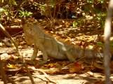 1.5 meter Iguana (including tail)