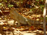 1.5 meter Iguana (including tail)