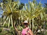 Pandanus bushes/trees