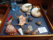 Today's catch beach combing catches. We did buy the big Nautilus shells from two boys padeling by.
