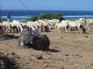 A lot of sheep (and goats)