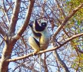 Dancing Lemurs