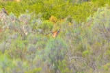 Spring Bock (Sydafrikas national däggdjur)