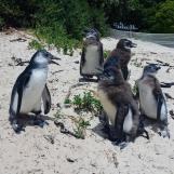 Local penguins, Simons Town