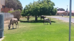 Oryx Antelopes in town center